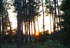 Massif forestier landais
